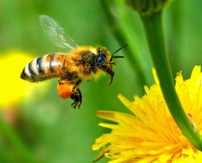 abeilles-cuba