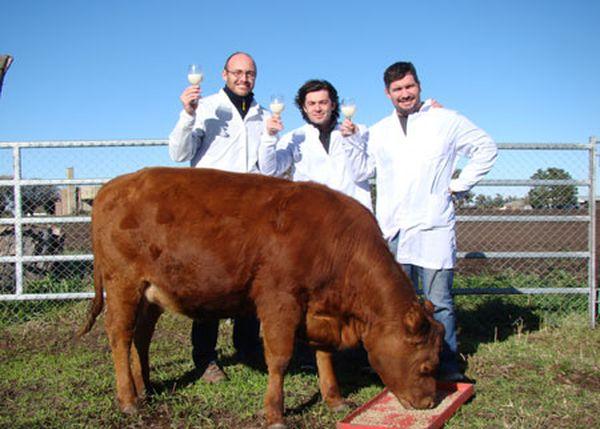 Rrosita - Vache transgénique