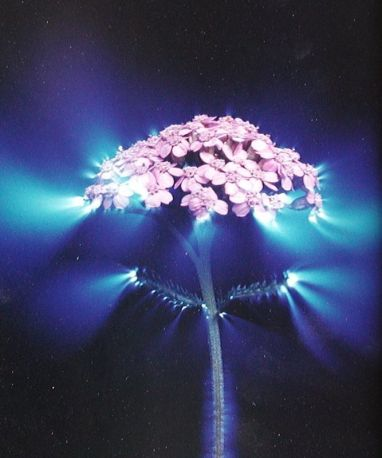 Kirlian flower 1
