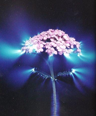 Kirlian flower 1