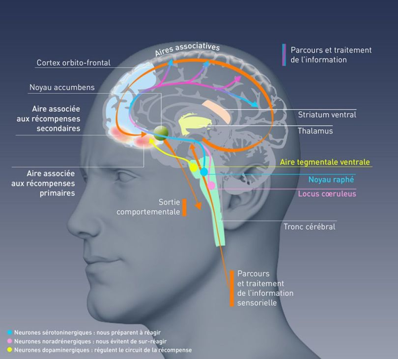 Parcours - traitement - information - récompense - cerveau