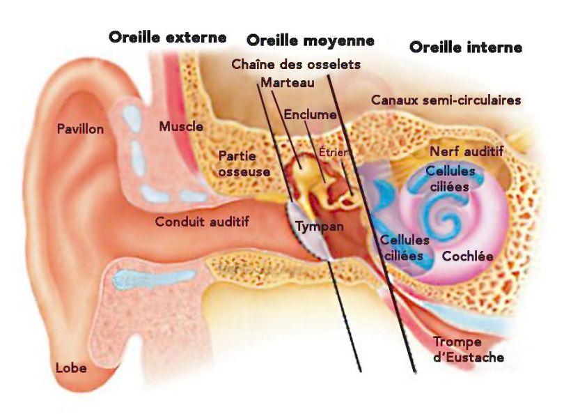 Oreille - externe, moyenne et interne - 1