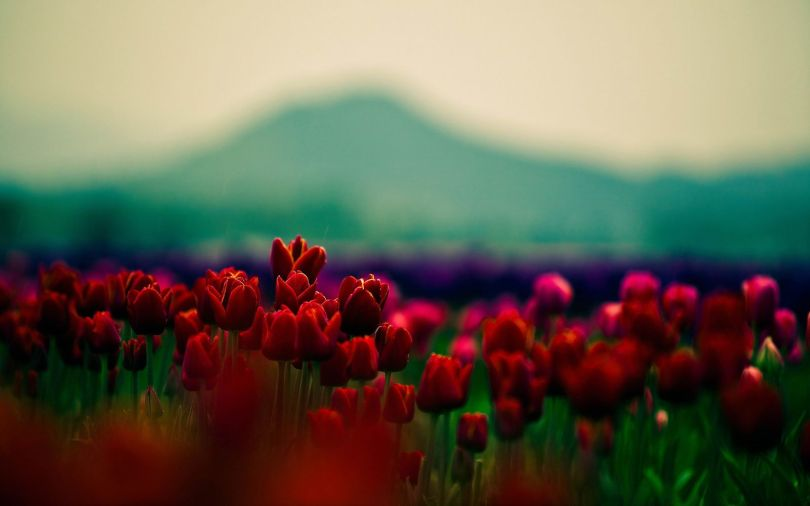 Tulipes - 328