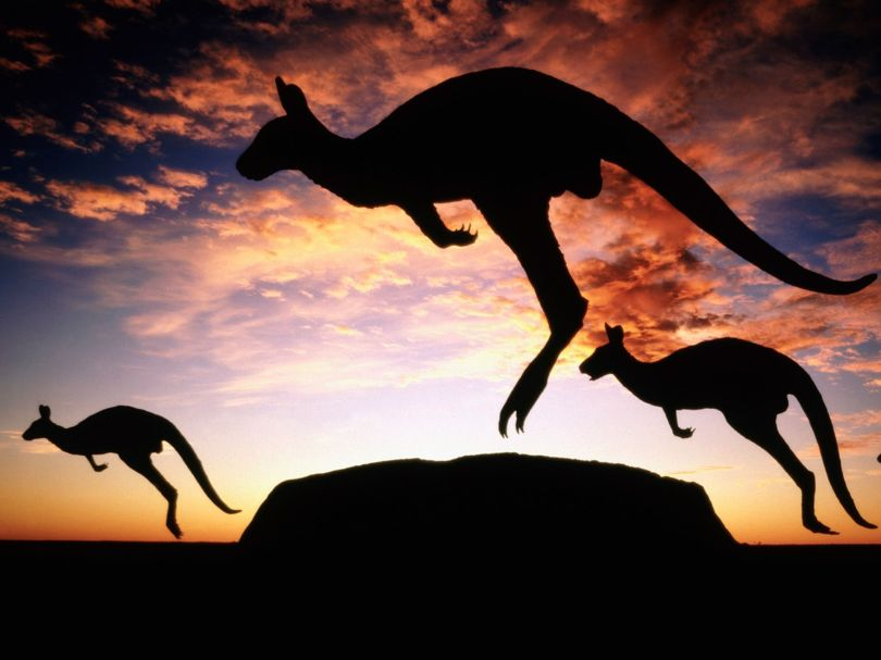 Kangaroos in Uluru National Park, Australia