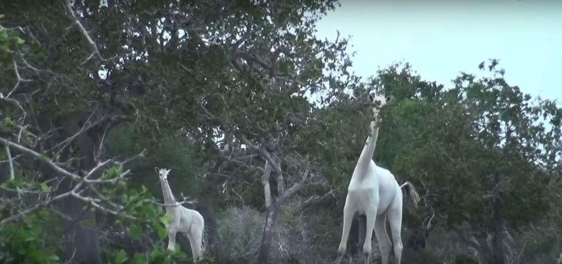 White Giraffes of Kenya - Giraffes blanches - Kenya - 1