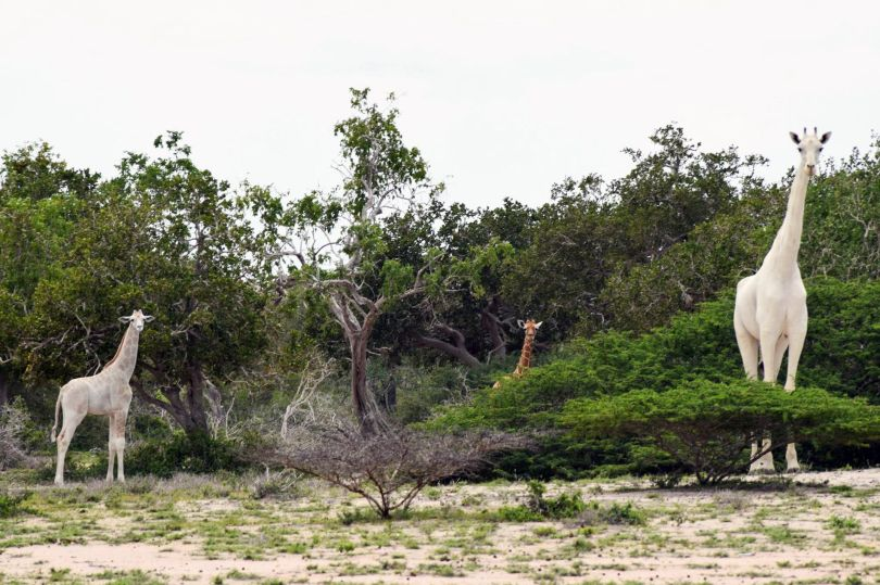 White Giraffes of Kenya - Giraffes blanches - Kenya - 2