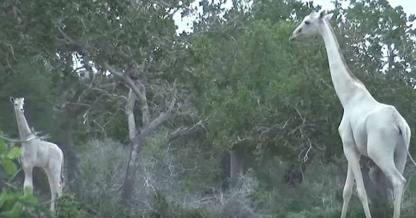 White Giraffes of Kenya - Giraffes blanches - Kenya - 3