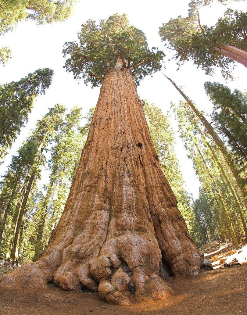 Séquoias Géants - 1
