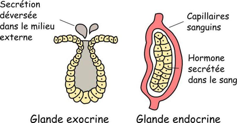 Système endocrinien et hormonal - 1