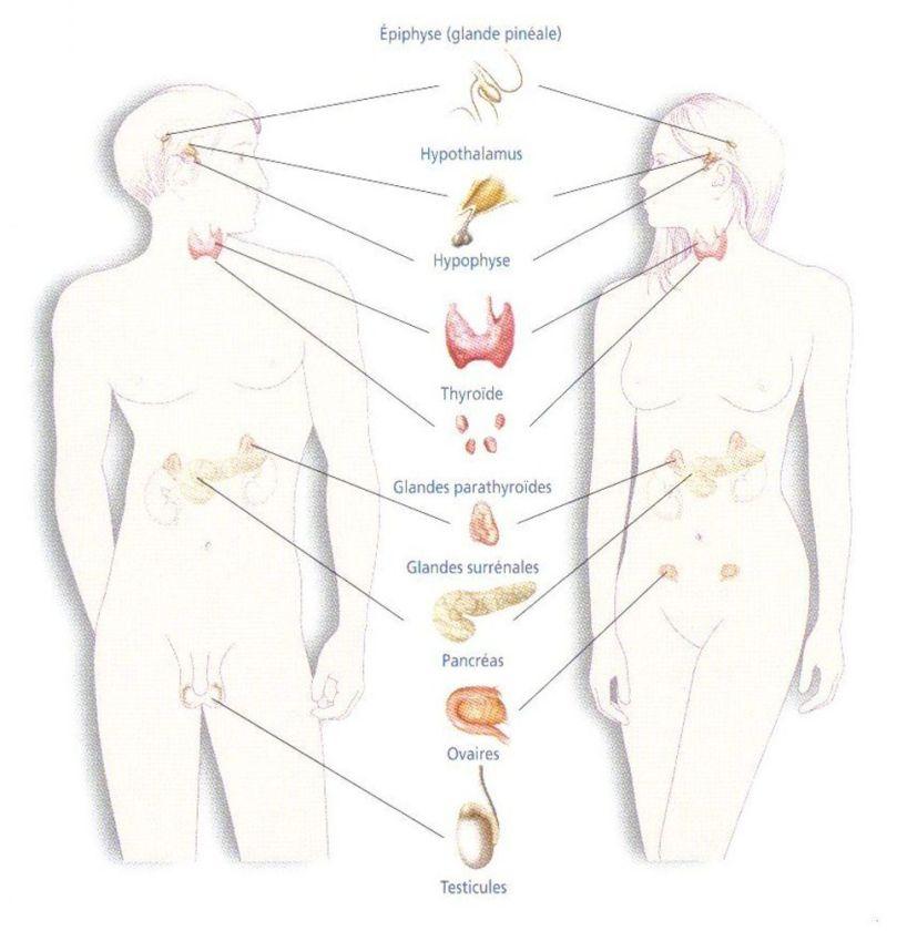 Système endocrinien et hormonal - 2