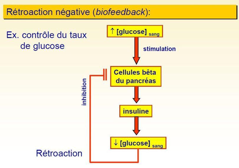 Système endocrinien et hormonal - 6