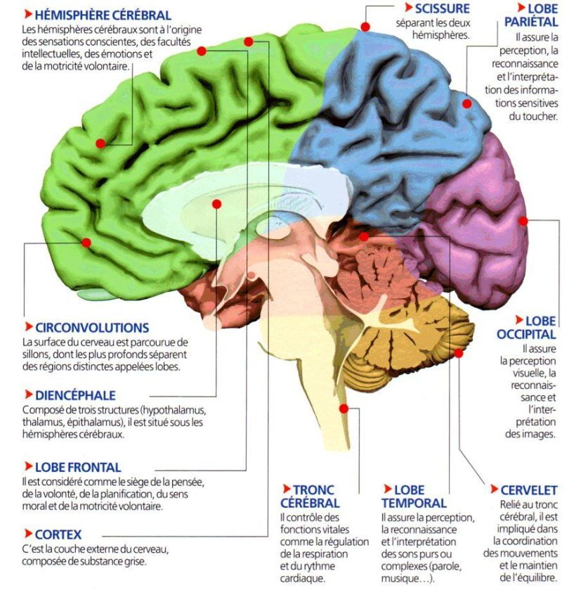 Cerveau - Lobes frontaux
