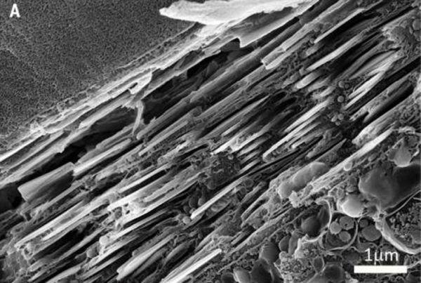 Cristallin - Oil de Pecten maximus
