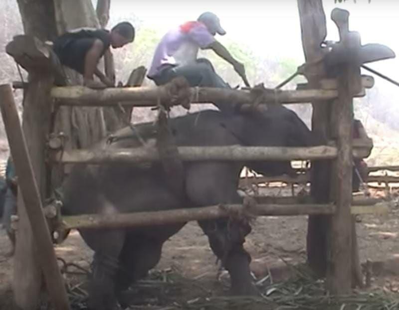 Eléphant - Torture - Maltraitance - 2