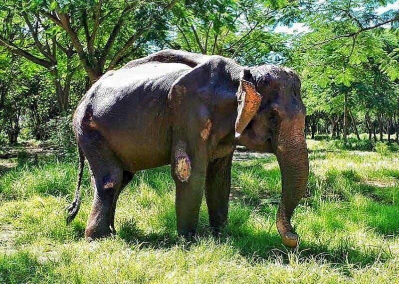 Eléphant - Torture - Maltraitance - 6
