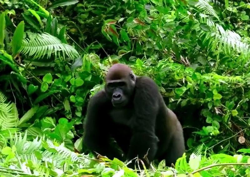 Gorille - 3