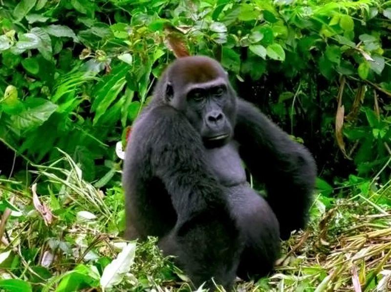 Gorille - 4