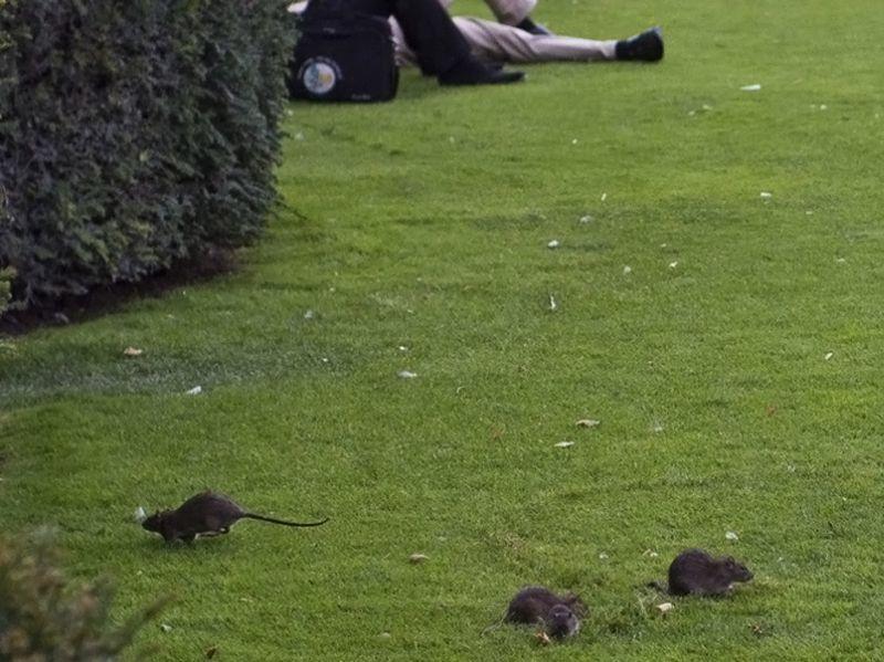 Rats - Paris - 2