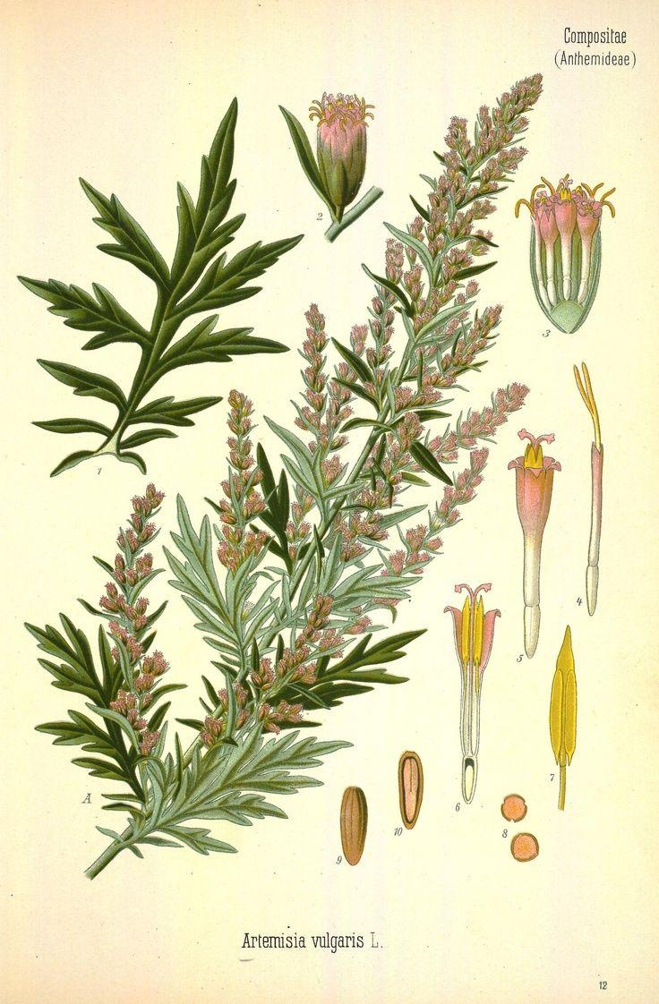 7ab0b2c376 La découverte des bienfaits thérapeutiques de l'armoise, appelée autrefois  » ponema » par les Gaulois, ne date pas d'hier. Cette plante herbacée est  réputée ...