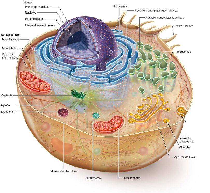 Ccellule humaine