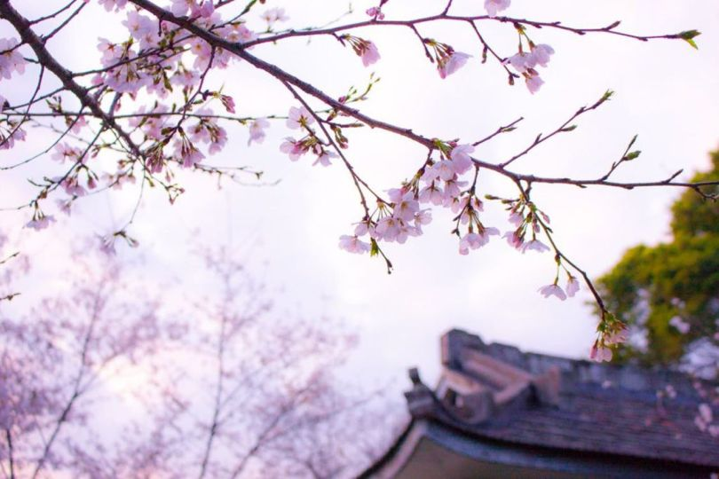 Japon-Cerisiers-en-fleurs - 1