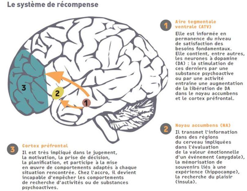 Cerveau - Système de récompence