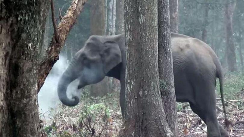 Eléphante fumeuse – Inde - 2