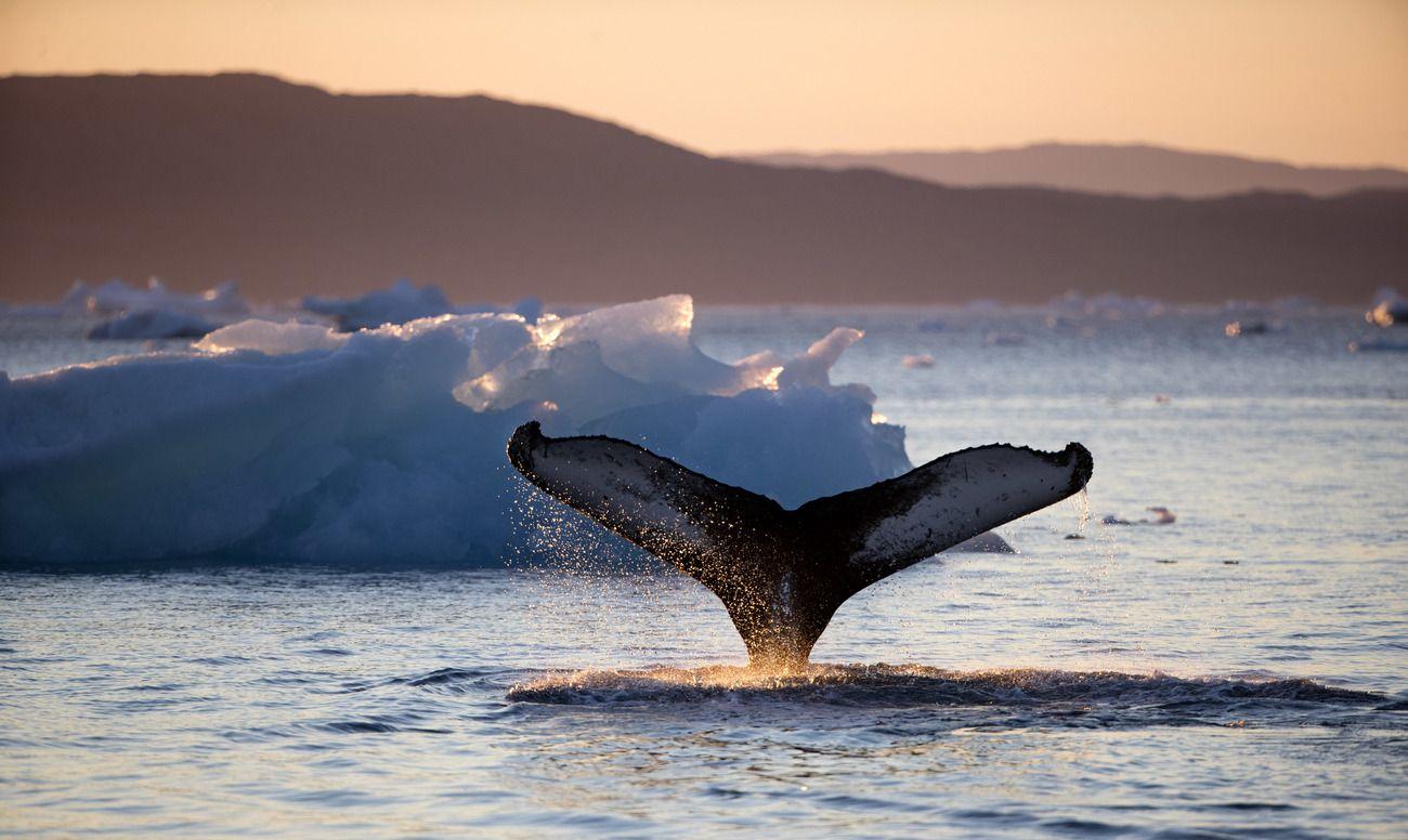 Le chant des baleines boréales : Un fascinant répertoire de vocalises