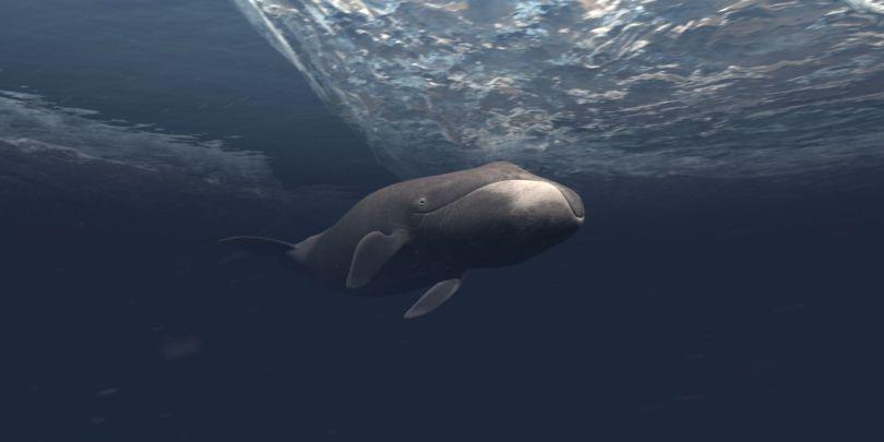 Baleines boréales - 2
