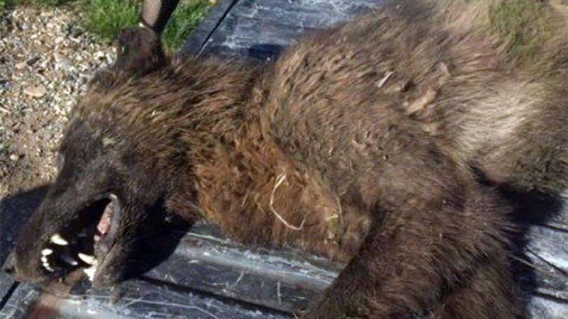 Animal inconnu – Montana – Etats-Unis - 2