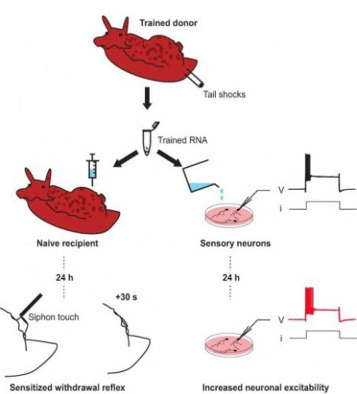 ARN - Mémoire - Shéma