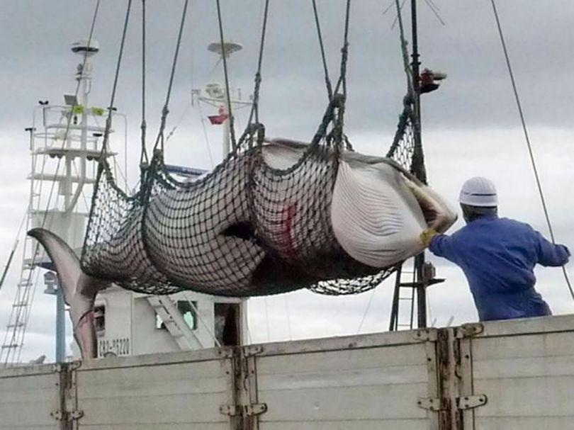 Chasse à la baleine – Japon - 1