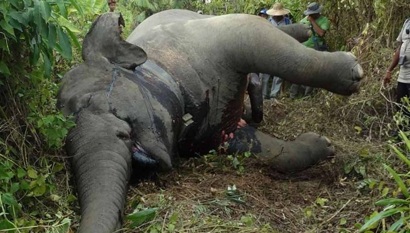 Eléphant – Asie - 5