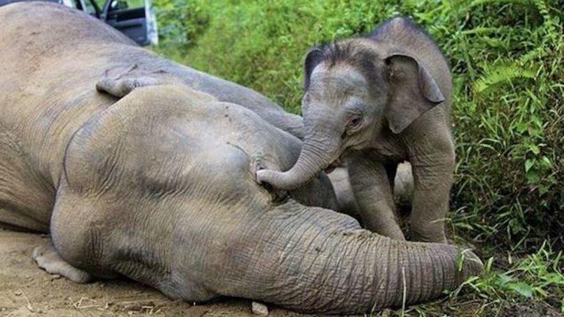 Eléphant – Asie - 6