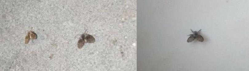 Les mouches piqueuses