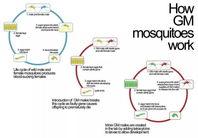 Moustique - OGM - 1