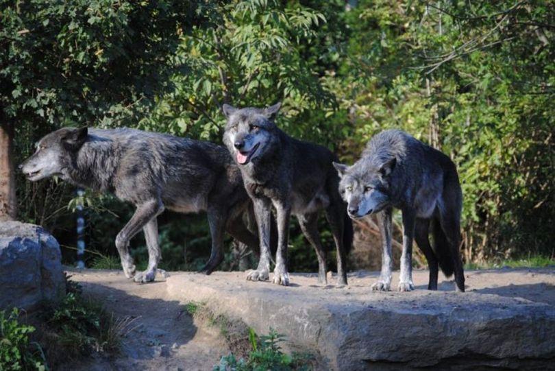 Loups - 1