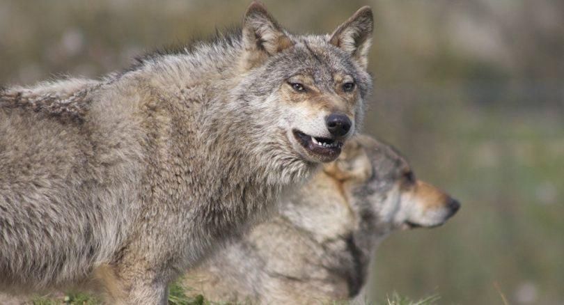 Loups - 2