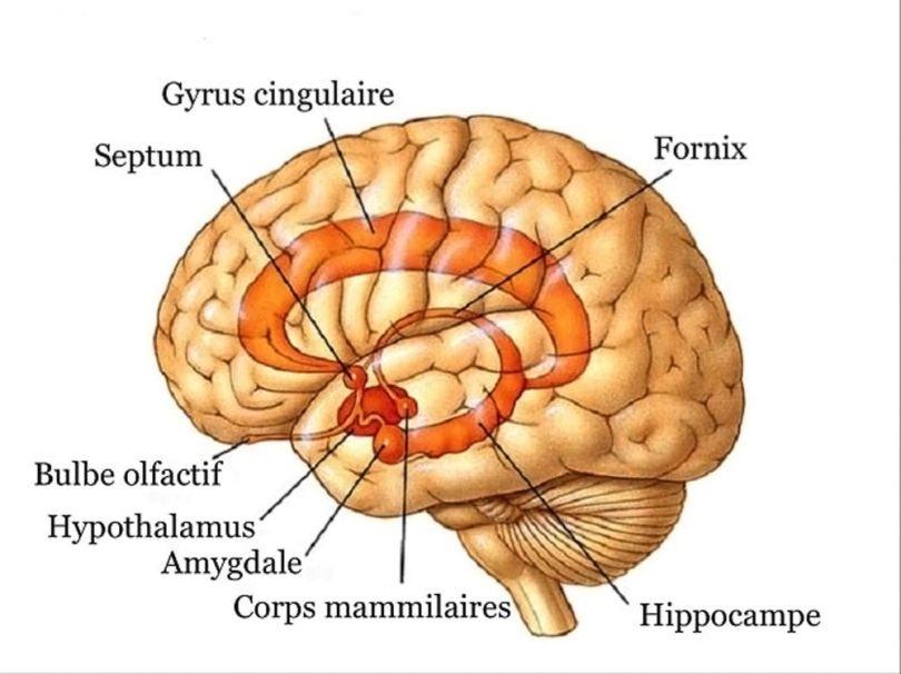 Cerveau - 2