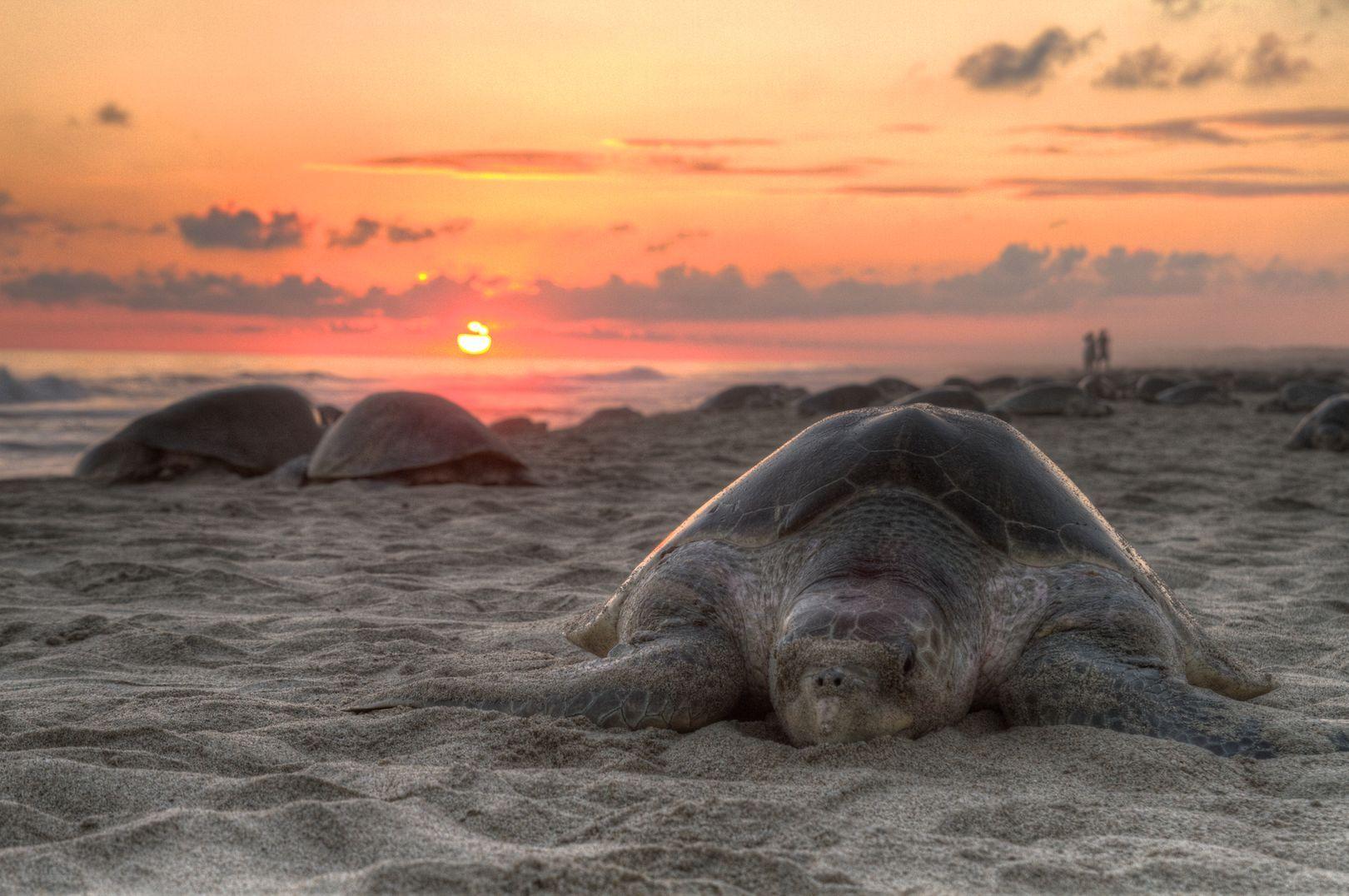 Mexique : Plus de 100 cadavres de tortues marines trouvés sur des plages de Puerto Arista