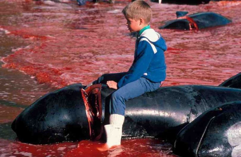 Danemark – Massacre dauphins - 2
