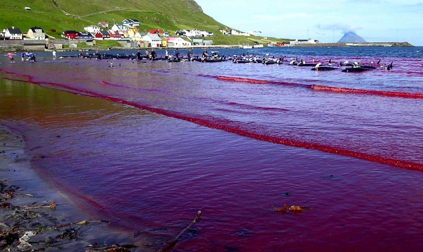 Danemark | The Grind : Le massacre de centaines de dauphins se perpétue dans les îles Féroé (Vidéos)