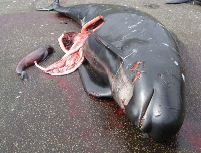Danemark – Massacre dauphins - B