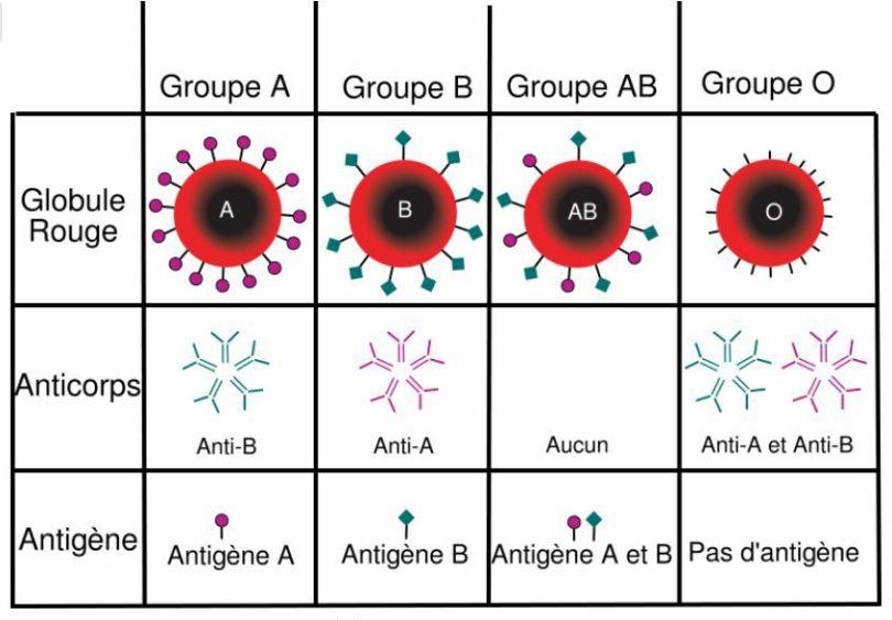Groupes sanguins - 1