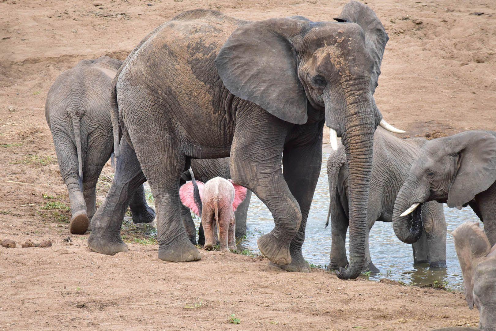 Insolite : un éléphanteau rose en Afrique du Sud [Vidéos]