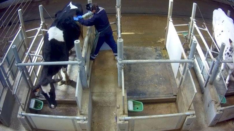 Vache à hublot - 2