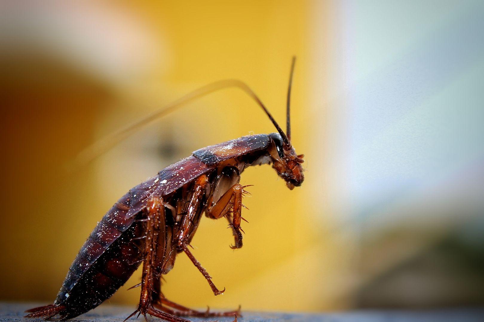 Huile Essentielle Efficace Contre Les Cafards les cafards deviennent presque impossibles à tuer   aphadolie