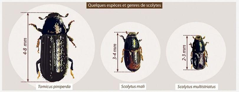 Scolyte - 1