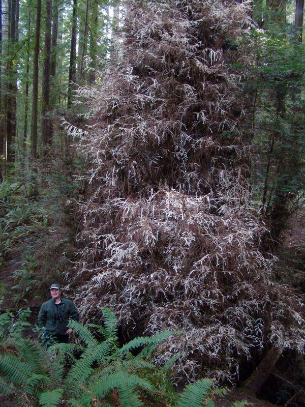 Séquoias - 2