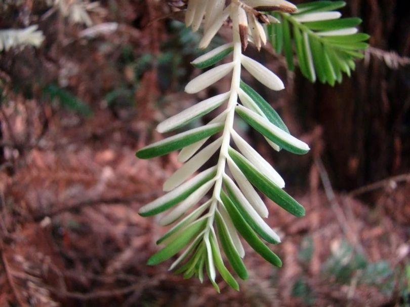 Séquoias - 3